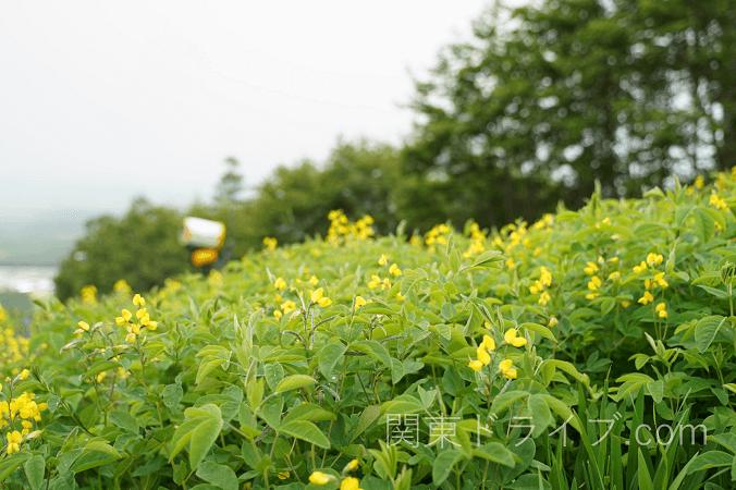 清里テラスの花1